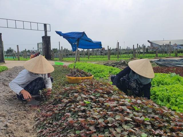 Thừa Thiên Huế: Nông dân gặp khó khi rau xanh được mùa mất giá - Ảnh 4.