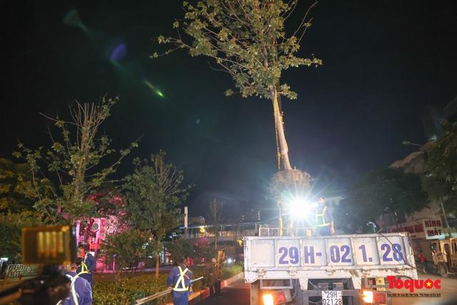 Hàng cây phong lá đỏ ở Hà Nội được di dời ngay trong đêm - Ảnh 5.