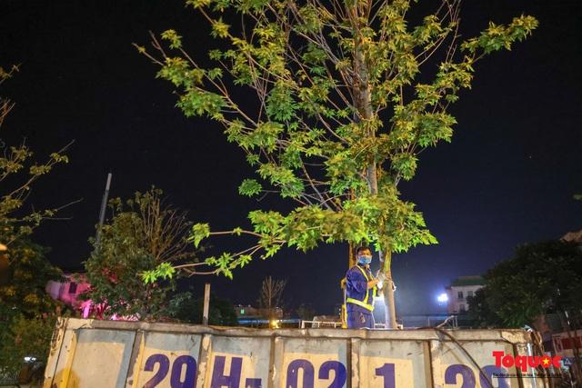 Hàng cây phong lá đỏ ở Hà Nội được di dời ngay trong đêm - Ảnh 7.