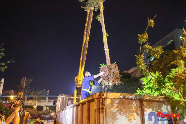 Hàng cây phong lá đỏ ở Hà Nội được di dời ngay trong đêm - Ảnh 6.