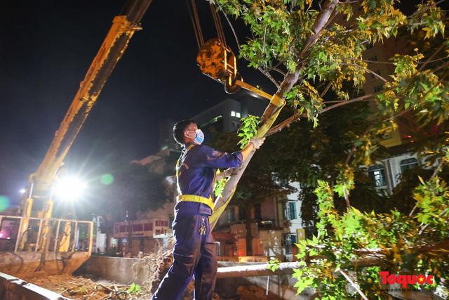 Hàng cây phong lá đỏ ở Hà Nội được di dời ngay trong đêm - Ảnh 8.