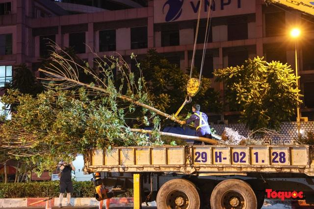 Hàng cây phong lá đỏ ở Hà Nội được di dời ngay trong đêm - Ảnh 9.