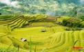 Chiêm ngưỡng vẻ đẹp ngỡ ngàng mùa lúa chín vàng của Hoàng Su Phì