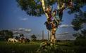 24h qua ảnh: Trẻ em Cuba thả ngựa, trèo cây lúc hoàng hôn