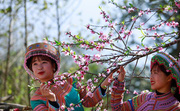 Lạc lối giữa rừng đào bung nở căng tràn nhựa sống ở Sun World Fansipan Legend