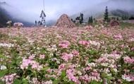 Lại một mùa hoa Tam giác mạch bung nở trên cao nguyên đá vẫy gọi du khách