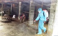 Dịch tả lợn Châu Phi xuất hiện ở Quảng Nam