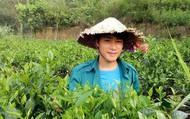 Cử nhân báo chí về quê trồng chè ướp sen giá chục triệu/kg