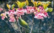 Hoa đào chuông quý hiếm đua nhau khoe sắc trên đỉnh Bà Nà Hills
