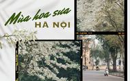 Chưa đến tháng 3, hoa sưa đã nở trắng trời: Lại một mùa hoa rất tình và rất Hà Nội!