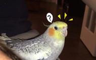 Hễ buồn là chú vẹt này lại hót nhạc chuông iPhone