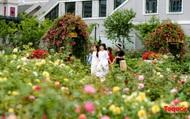 Ngắm thung lũng hoa hồng tuyệt đẹp nhận kỷ lục lớn nhất Việt Nam