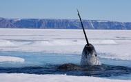 Mời bạn nghe những âm thanh hiếm có do loài kỳ lân biển tạo ra