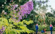 Giữa bờ sông Tô Lịch bỗng xuất hiện hàng Phượng tím đặc sản của Đà Lạt đang trổ hoa tuyệt đẹp mà không phải người Hà Nội nào cũng biết