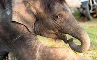 Nhật ký... nuôi voi của một bác sỹ thú y tại Đắk Lắk