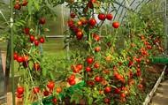 Yếu tố tác động đến chất lượng cà chua khi trồng