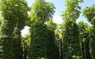 Nên trồng cây gì làm trụ tiêu sống? Ưu và nhược điểm?