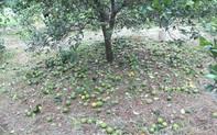 Người trồng cam Vinh điêu đứng vì cam rụng hàng loạt