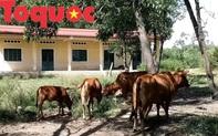 Trường cho học sinh vùng khó xây xong trở thành nơi chăn thả bò