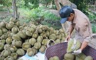 """Nông dân trồng sầu riêng """"mỏi mắt"""" tìm thương lái"""