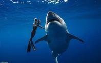 """Lộ diện cá mập trắng lớn nhất thế giới đang có """"đại tiệc"""" cá voi"""