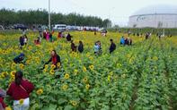 Hàng ngàn lượt khách check-in cánh đồng hoa hướng dương rực rỡ ở Quảng Bình