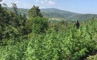 Gia Lai: Phát hiện hơn 2.000 cây cần sa tại rẫy người dân