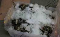 Phát hiện tôm hùm bơm tạp chất tại một cửa hàng hải sản ở Đà Nẵng