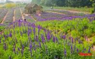 Vẻ đẹp ngỡ ngàng của cánh đồng hoa Nữ hoàng xanh như trời Âu giữa Hà Nội