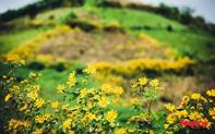 Ngập tràn sắc hoa Dã quỳ trên cao nguyên mộng mơ