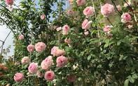 """Cơ hội """"lạc"""" vào xứ sở hoa hồng Bulgaria ngay tại Hồ Gươm"""