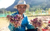 Hành tím Lý Sơn vào mùa thu hoạch: Nông dân phấn khởi vì giá tăng gấp đôi năm ngoái