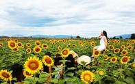 Giới trẻ hào hứng check-in cánh đồng hoa hướng dương ở Gò Nổi