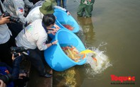 Hà Nội: Thả thử nghiệm gần 100 con cá Koi Nhật Bản xuống sông Tô Lịch và Hồ Tây