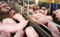 Lý do Việt Nam đứng top 5 thế giới về sản xuất thịt lợn nhưng vẫn ồ ạt nhập khẩu?