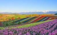 Mê mẩn vẻ đẹp của những cánh đồng hoa trên khắp thế giới