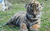 """""""Nhỡ"""" chào đời đúng mùa dịch, hổ con đáng yêu được vườn thú đặt luôn tên là… Covid"""