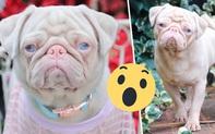 Chiêm ngưỡng chó pug hồng mắt xanh vừa hiếm vừa yêu, toàn thế giới chỉ có đâu đó 100 con!