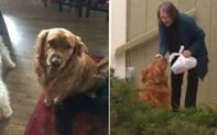 """Làm shipper cho cụ bà ốm yếu tự cách ly, chó golden được dân mạng tôn làm """"anh hùng 4 chân"""""""