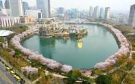 Hàn Quốc: Ý tưởng độc đáo giúp người dân có thể ngắm hoa anh đào trực tuyến tại nhà