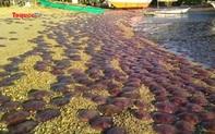 Sự quay trở lại hiếm có của hàng nghìn con sứa hồng bên bờ biển Palawan