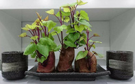 """""""Nâng tầm"""" cây khoai lang lên thành bonsai sang chảnh nhờ trồng vào những loại bình này"""