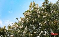 """Ngỡ ngàng giữa nắng hè Hà Nội lại có những nơi bung nở """"hoa tuyết"""""""