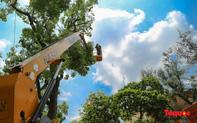 Hà Nội nắng nóng 40 độ, công nhân vất vả tỉa cây trước mùa mưa bão
