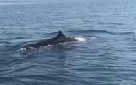 Cá voi dài khoảng 5m bất ngờ xuất hiện ở vùng biển Cù Lao Chàm!