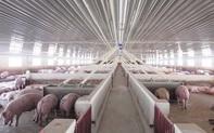 Hưởng lợi từ giá thịt lợn tăng cao, Dabaco công bố lợi nhuận gần 400 tỷ đồng quý 2, cao nhất từ trước đến nay