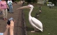Video: Du khách kinh ngạc chứng kiến cảnh bồ nông nuốt sống chim bồ câu
