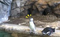 Khách tham quan thủy cung Nhật Bản thấy chú chim cánh cụt đứng bất động như hóa đá, nhìn lên trần nhà mới vỡ lẽ lý do lạ kỳ