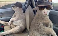 """Cừu con lạc đàn liền được tài xế tốt bụng cho đi nhờ, đã thế còn cho mượn quả kính râm """"cực ngầu"""" để ngồi hưởng thụ ngắm mây trời!"""