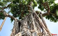 Cây sanh cổ dáng lạ được rao bán 700 triệu ở Hà Nội